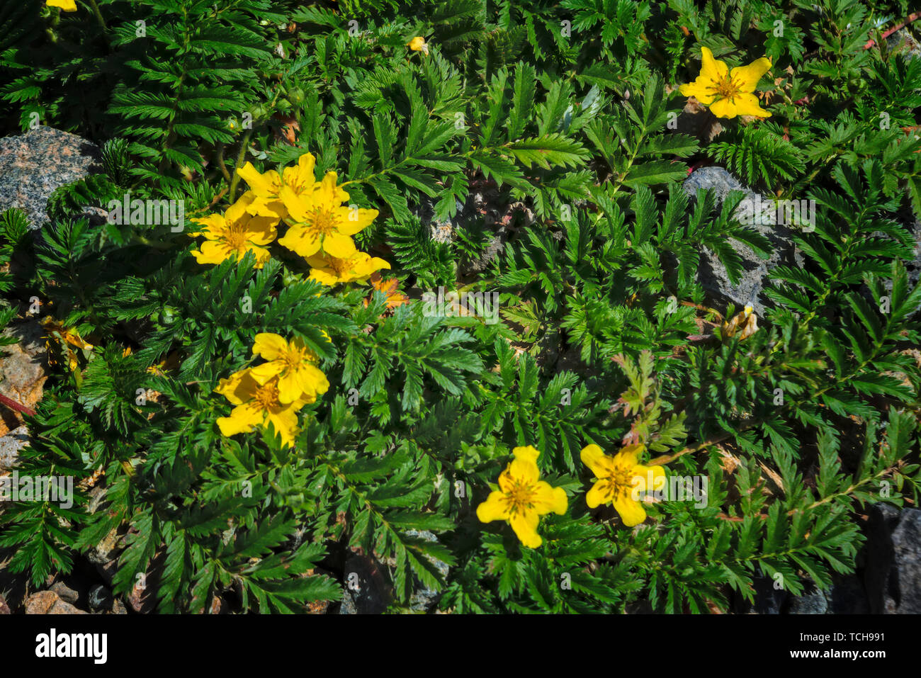 Argentina anserina or Potentilla anserina. It is known by the common names silverweed or silverweed cinquefoil. Natural green plant background, yellow - Stock Image