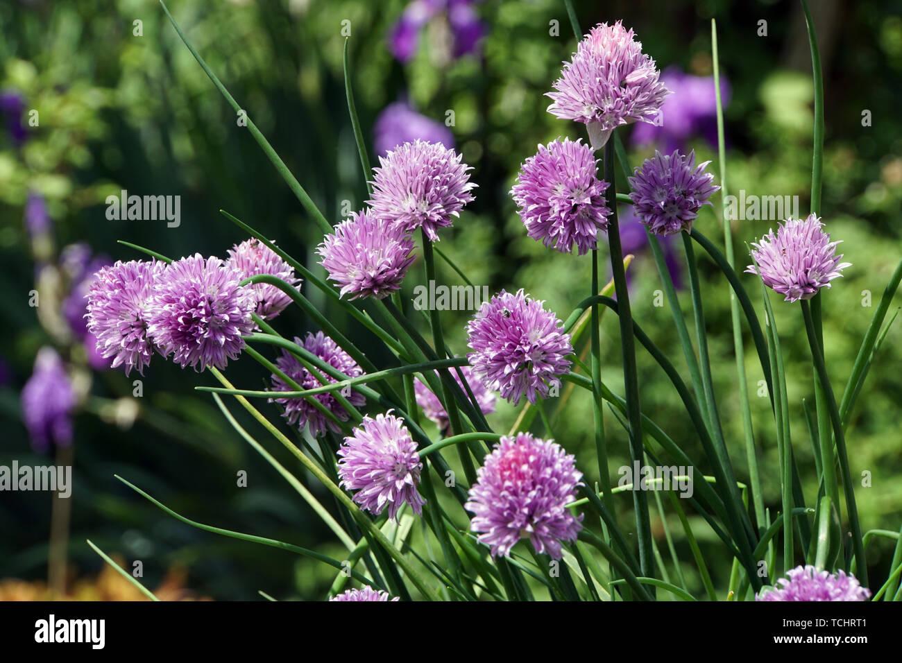blühender Schnittlauch (Allium schoenoprasum) Stock Photo