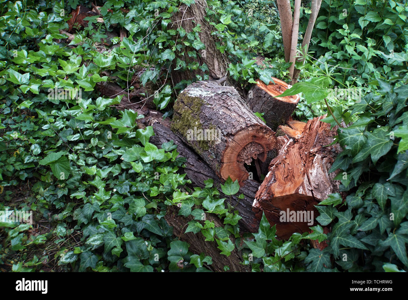 modernde Baumstücke im naturnahen Garten - Lebensraum für Mikroorganismen und Insekten - Stock Image