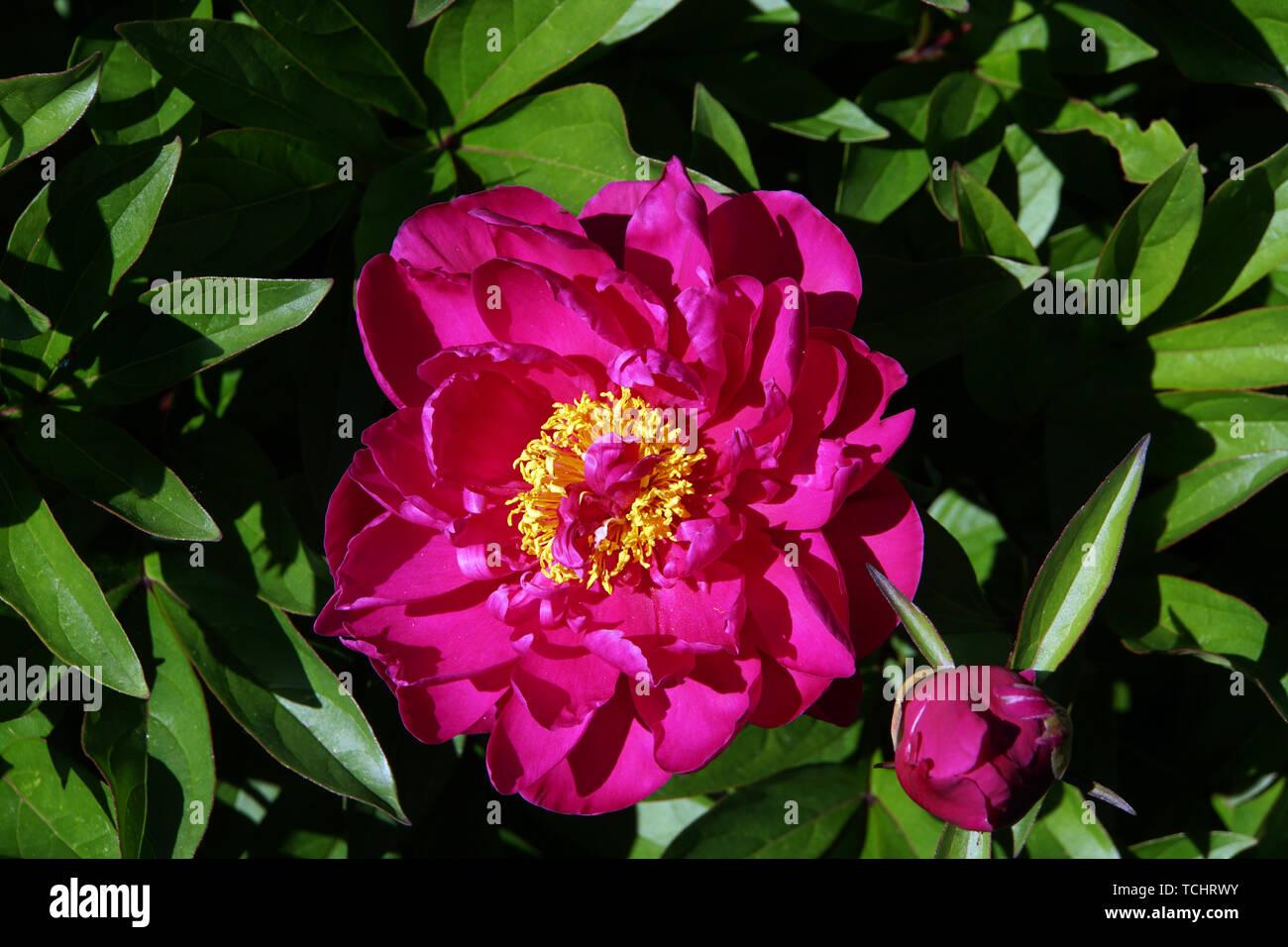 Gemeine Pfingstrose (Paeonia officinalis), auch Echte Pfingstrose, Bauern-Pfingstrose, Garten-Pfingstrose im Bauerngarten Stock Photo