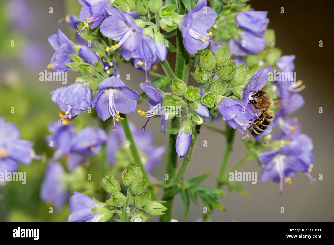 Biene an einer Jakobsleiter, Himmelsleiter (Polemonium-Hybride) - Stock Image