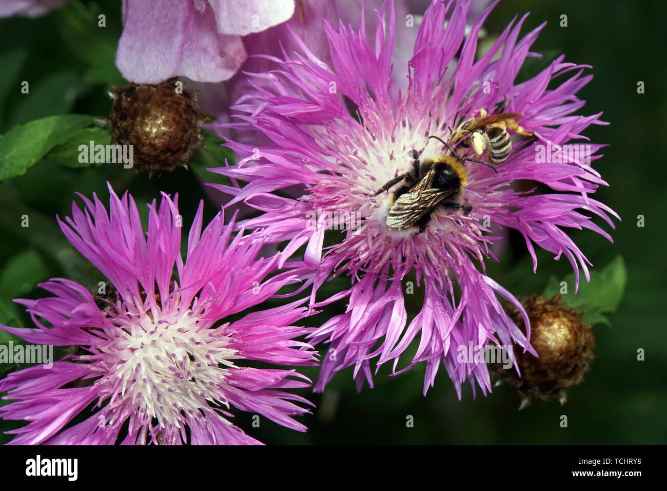 Hummel auf einer Zweifarbige Flockenblume (Centaurea dealbata) - Stock Image
