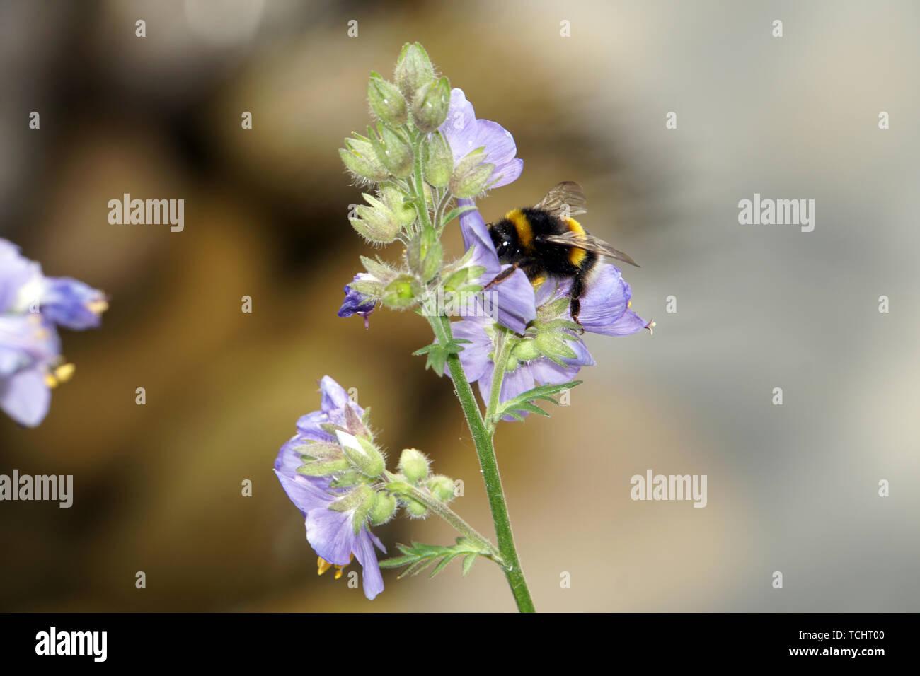 Hummel an einer Jakobsleiter, Himmelsleiter (Polemonium-Hybride) - Stock Image