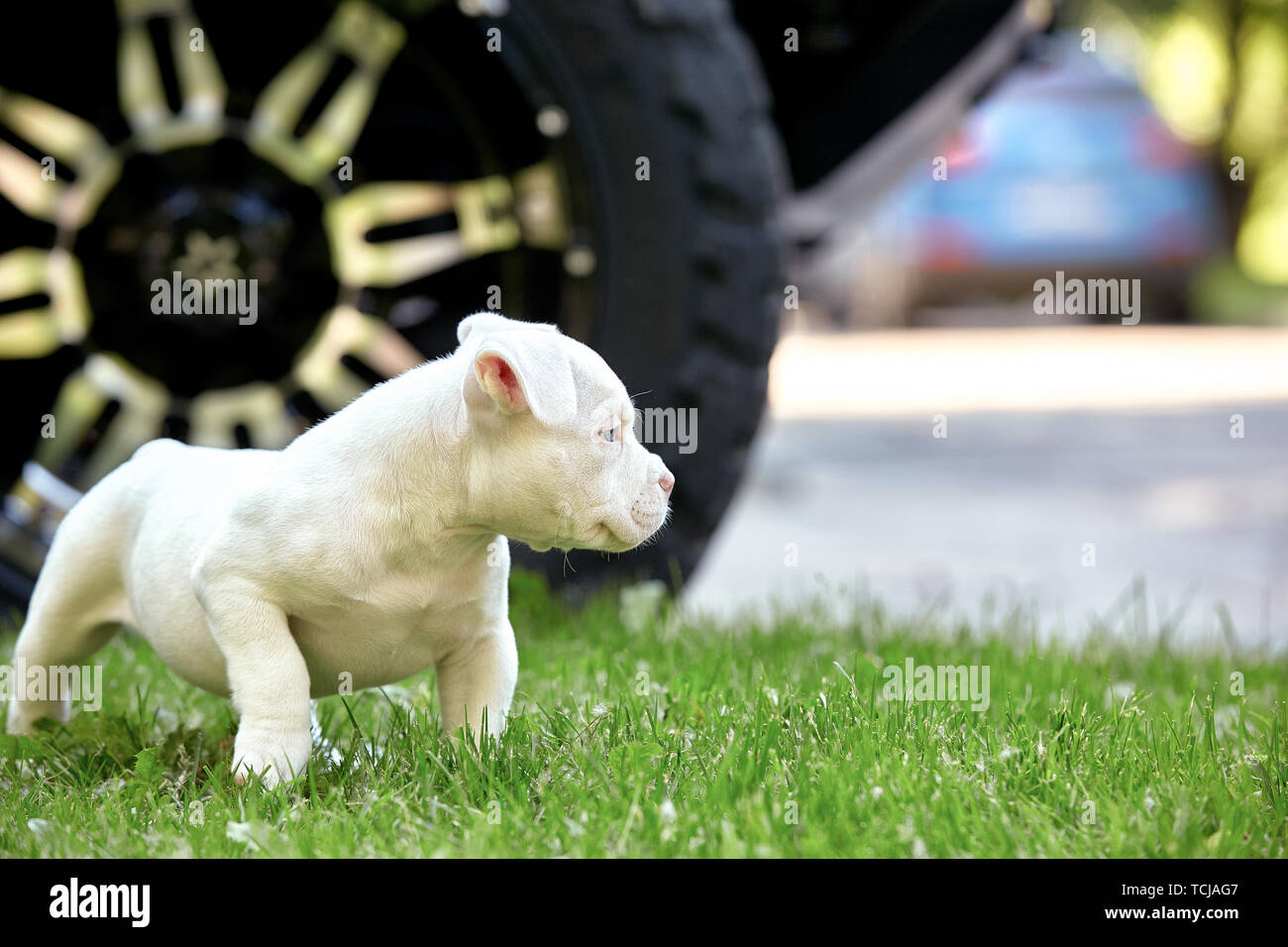 Cute puppy playing on the grass on the background of the car. Concept of the first steps of life, animals, a new generation. Puppy American Bull. Stock Photo