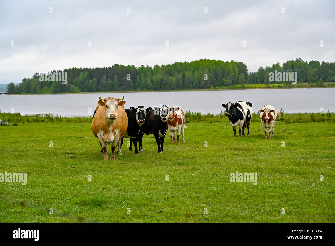 cows standing in a green field with a lake behind in Sweden may 2019 - Stock Image