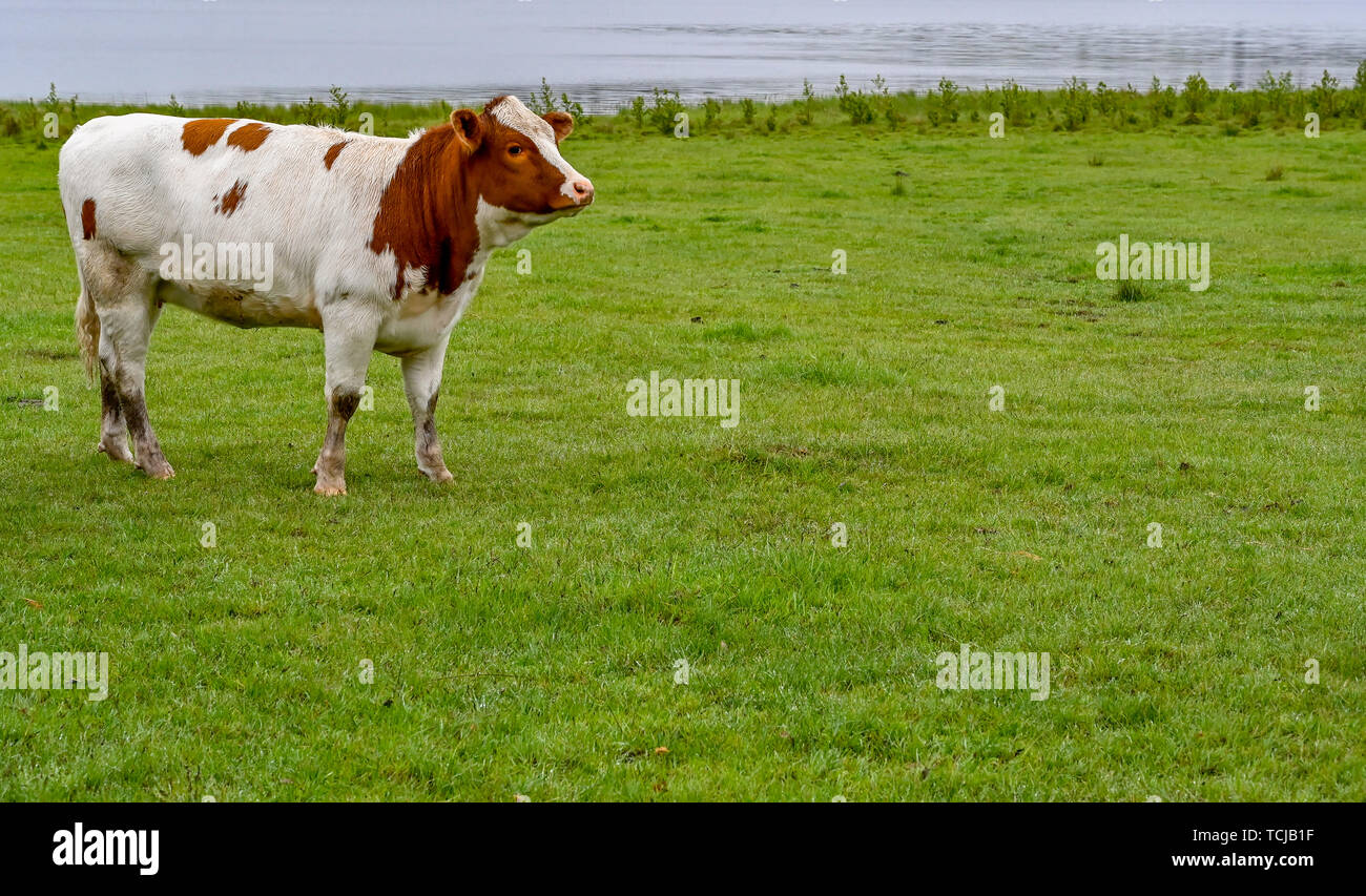 a cow standing in a green field in sweden may 2019 - Stock Image