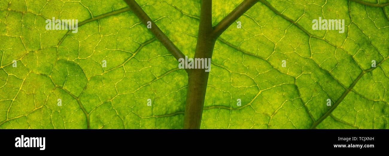 capillaries of green rhubarb foliage, autumn season. Web banner for your design. Stock Photo