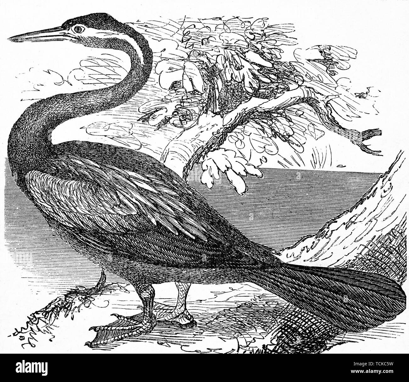 Anhinga, snakebird, darter, American darter, or water turkey, Schlangenhalsvogel, 1889, historical woodcut, France Stock Photo