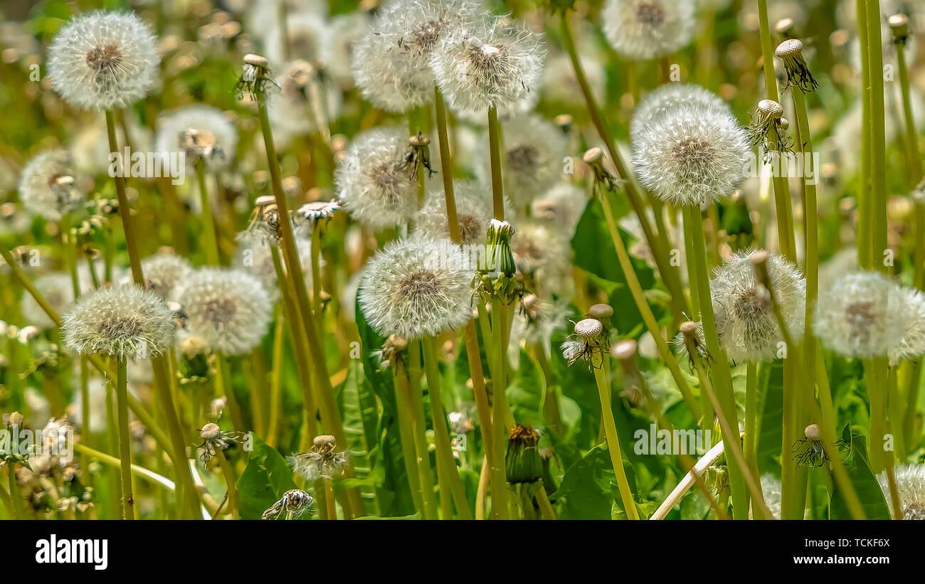 Panorama Close up of dandelions with white flowers and bright green stems on a sunny day - Stock Image