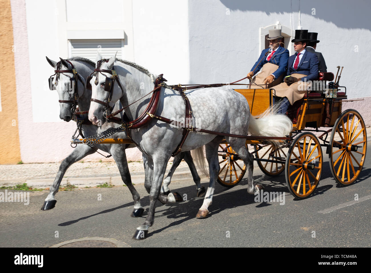 Two Lusitano horses horse-drawn carriage in  Golegã. This region has the oldest and most prestigious Lusitano horse breeders in Portugal.  An annual N - Stock Image