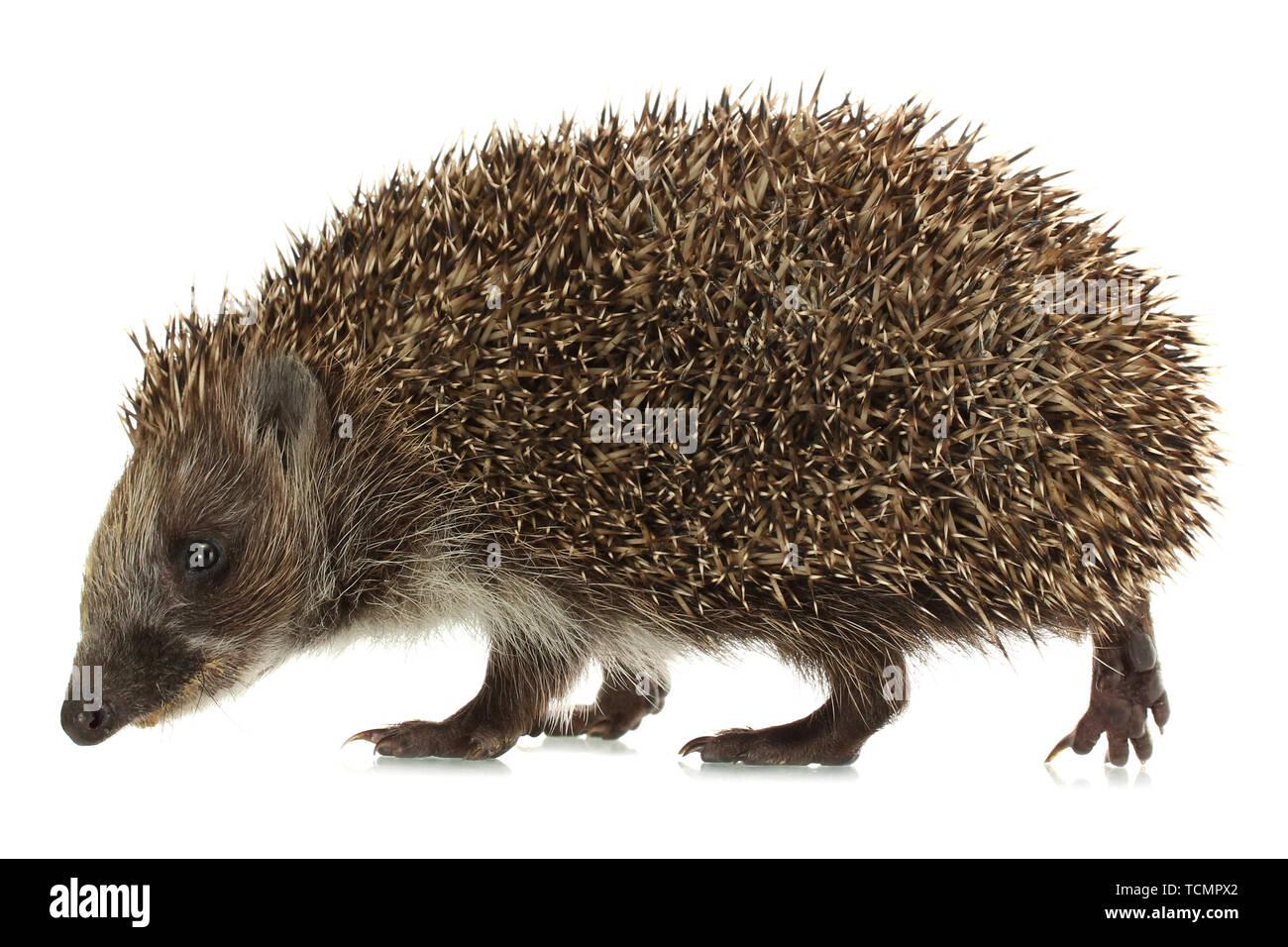 Hedgehog, isolated on white - Stock Image