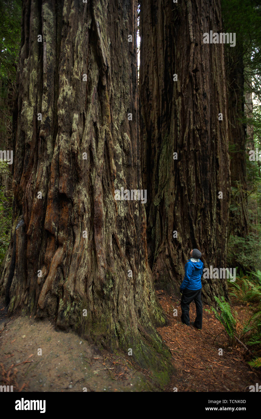 man gazes up at giant redwood trees in Pacific Northwest - Stock Image