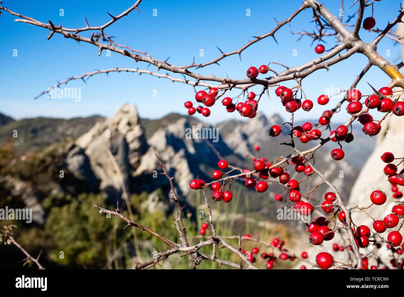 Red wild berries. Dolomites of Basilicata mountains called Dolomiti Lucane. Basilicata region, Italy - Stock Image