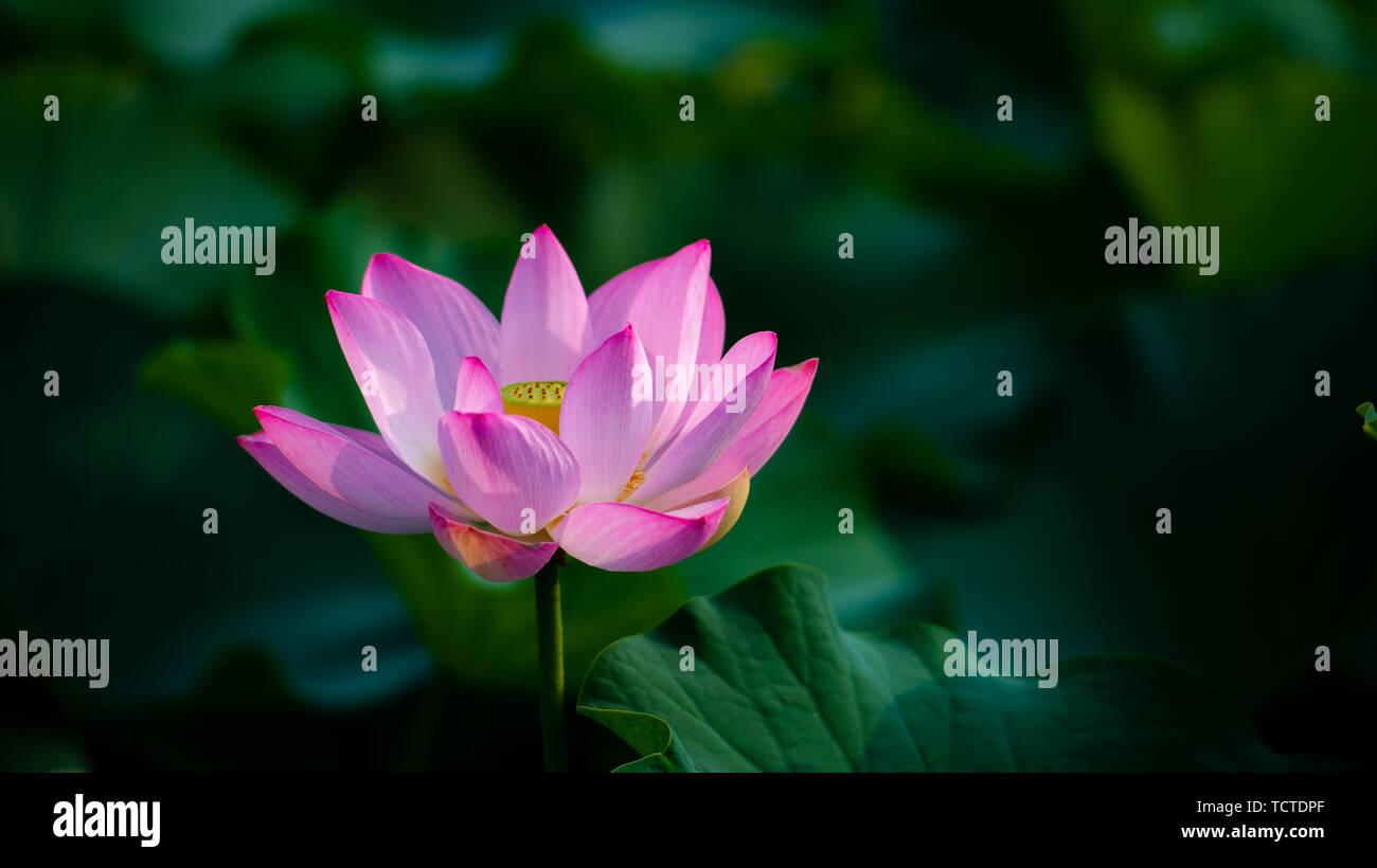 Lotus blooming in the lotus leaves in Stock Photo