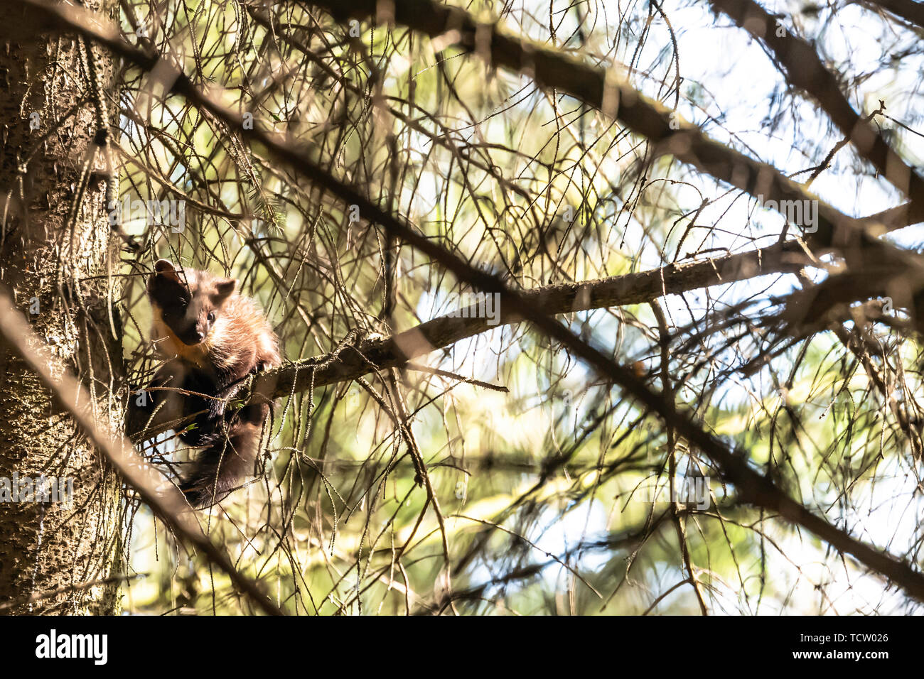 Selkirk, Scottish Borders, UK. 10th June 2019. A Pine Marten kit branches out from the family nest on a summers evening near Selkirk in the Scottish Borders. The population is only just beginning to infiltrate the south east of Scotland after reintroduction further north and west. Credit: Chris Strickland / Alamy Live News - Stock Image