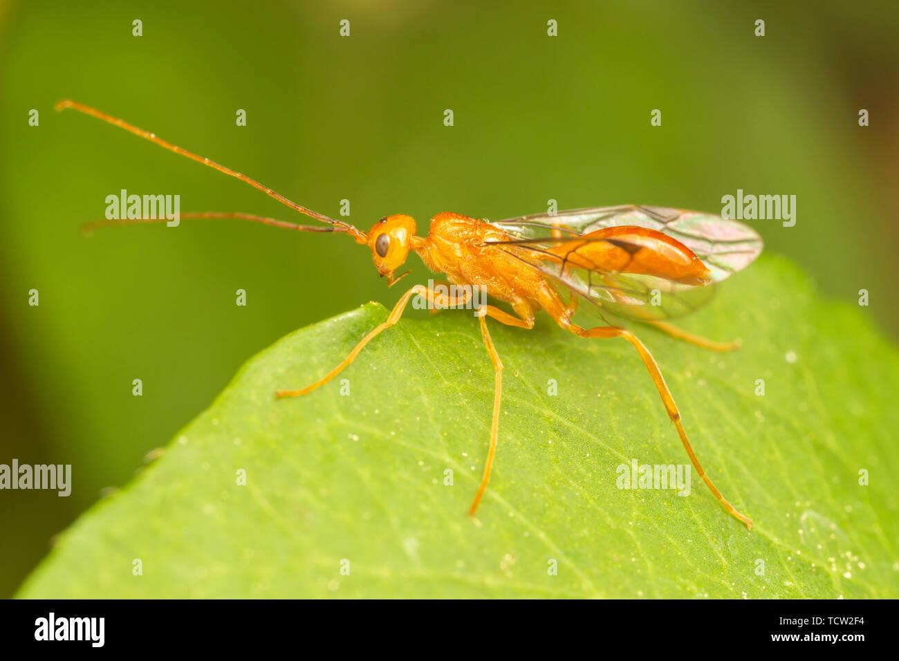 A male Aulacid Wasp (Aulacus burquei) - Stock Image