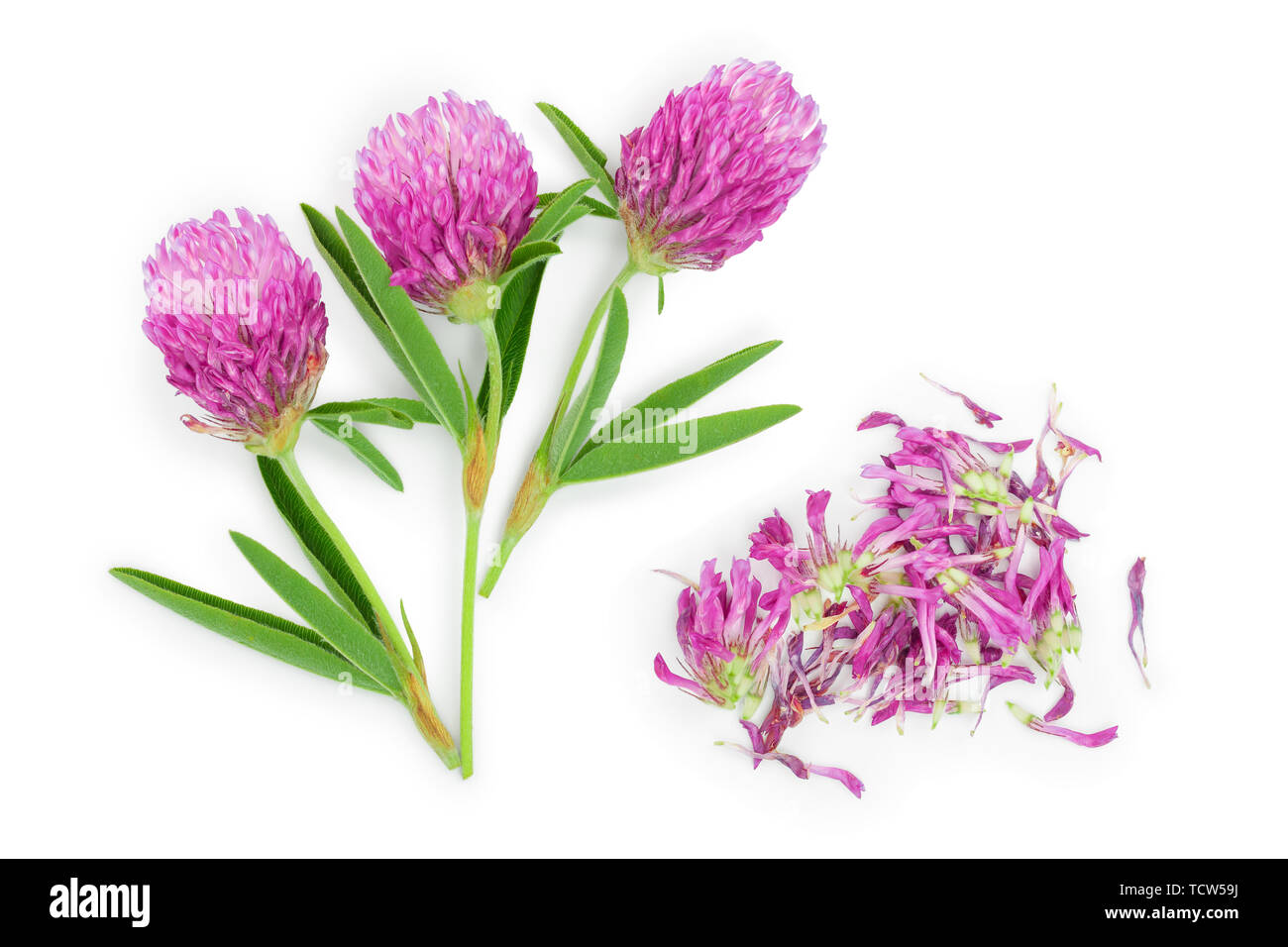 flower of a red clover clover with leaves and a stem close-up isolated on a white background. Top view. - Stock Image