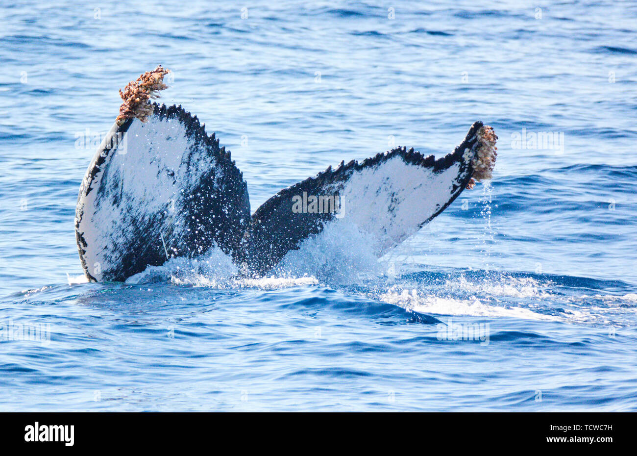 Tourist boat on a trip for whale watching, humbpack whale in Adeje, Tenerife, Spain, March 18, 2019. © Peter Schatz / Alamy Stock Photos - Stock Image