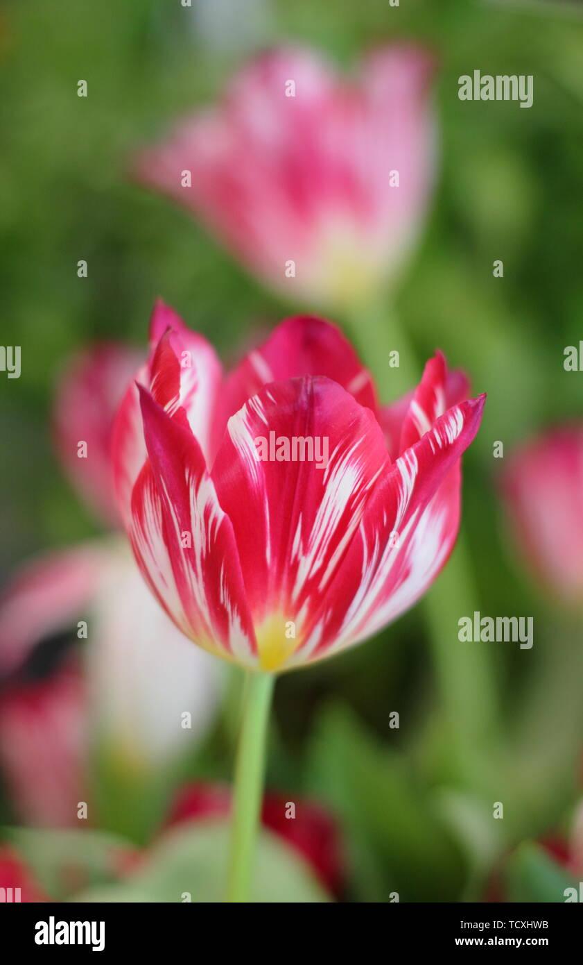 Tulipa 'Silver Standard'. Heirloom tulip variety Stock Photo
