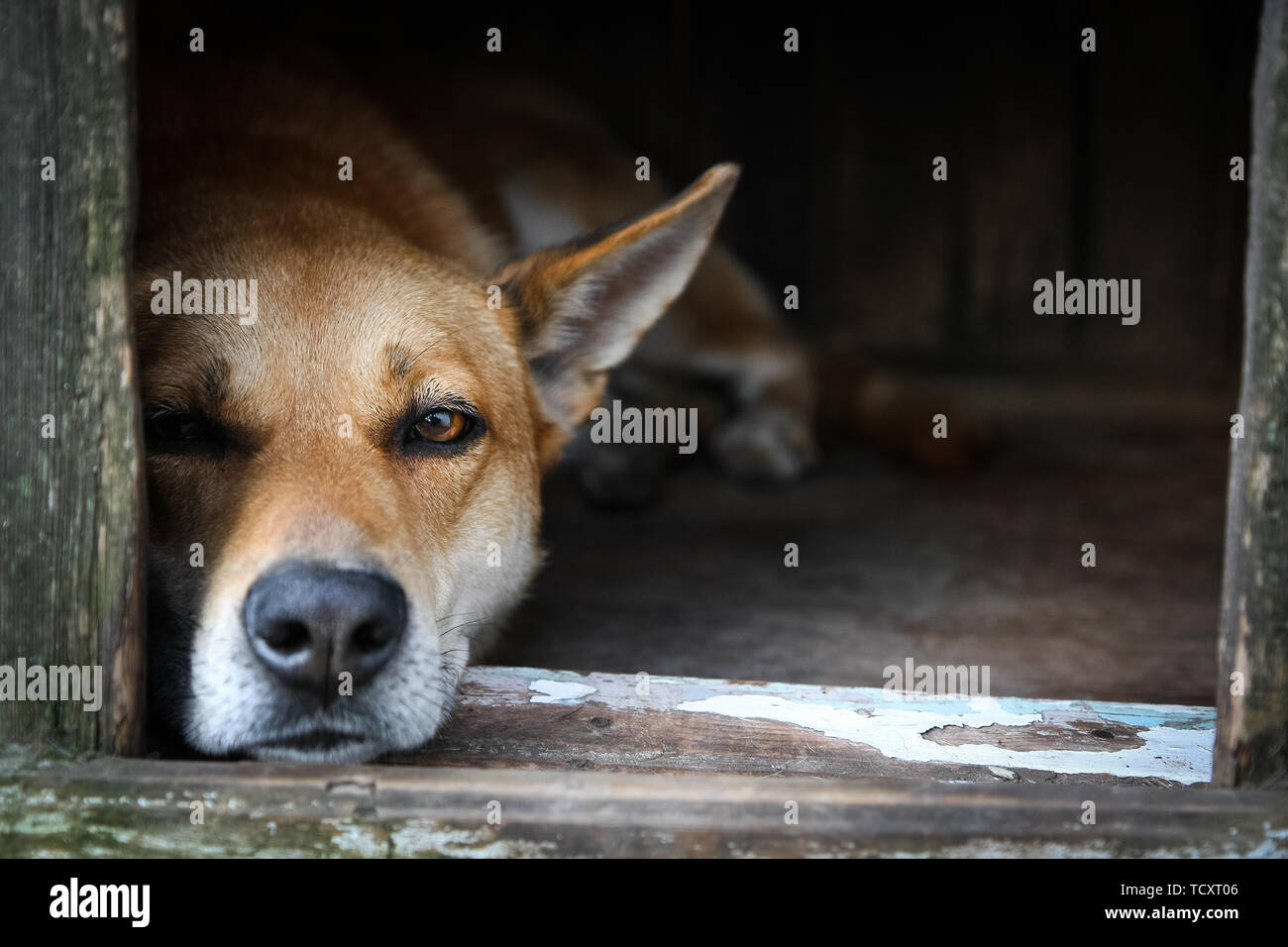Sad view of an alone brown dog lying in the kennel - an old wooden house - Stock Image