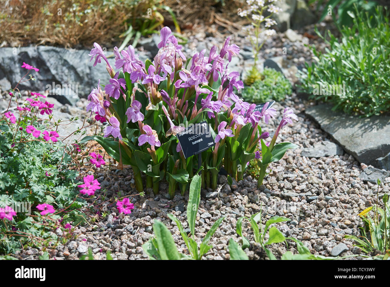 Roscoea humeana flowering in the summer sunshine in and alpine rockery - Stock Image