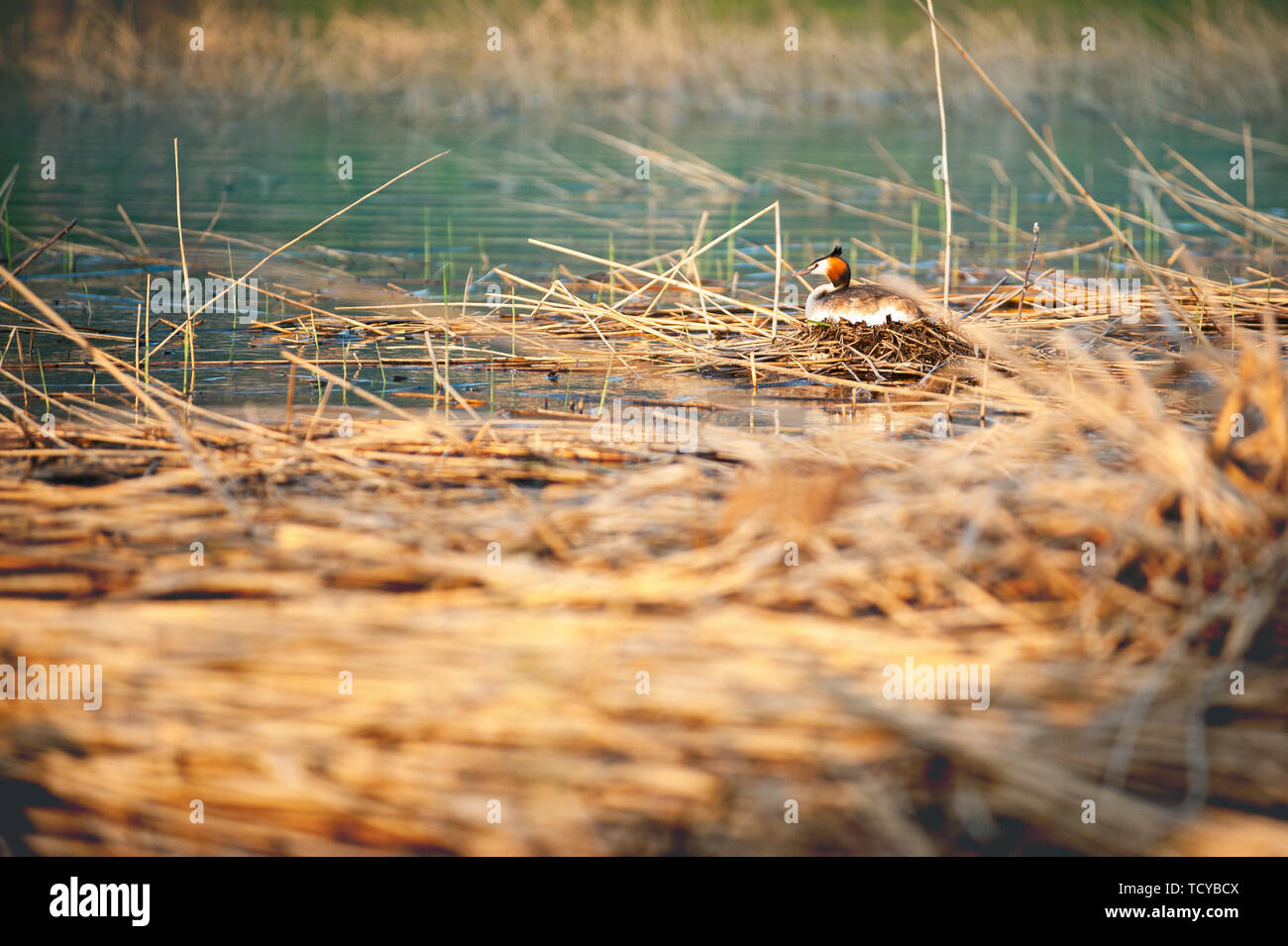 Great crested grebe sitting on eggs in nest. Podiceps cristatus. Wildlife photography with blurred background. - Stock Image