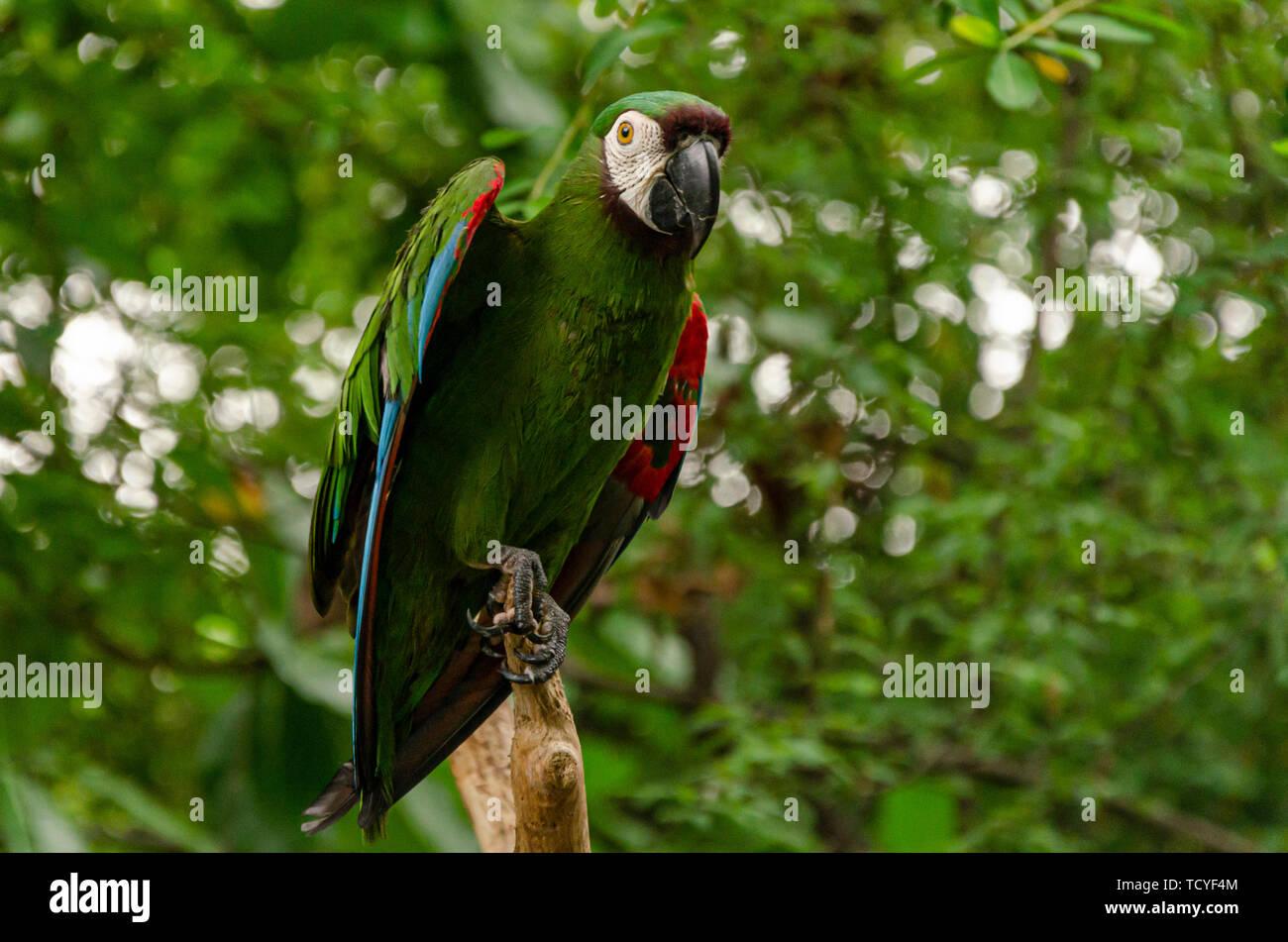 parrot with green plumage in the Ecuadorian jungle.Guayaquil, Ecuador Stock Photo