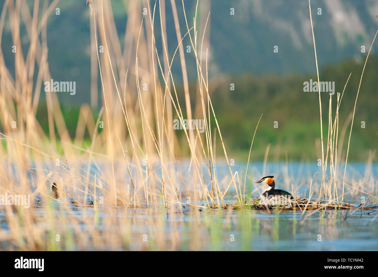 Great crested grebe sitting on eggs in nest. Podiceps cristatus. Wildlife photography with blurred mountains on background. - Stock Image
