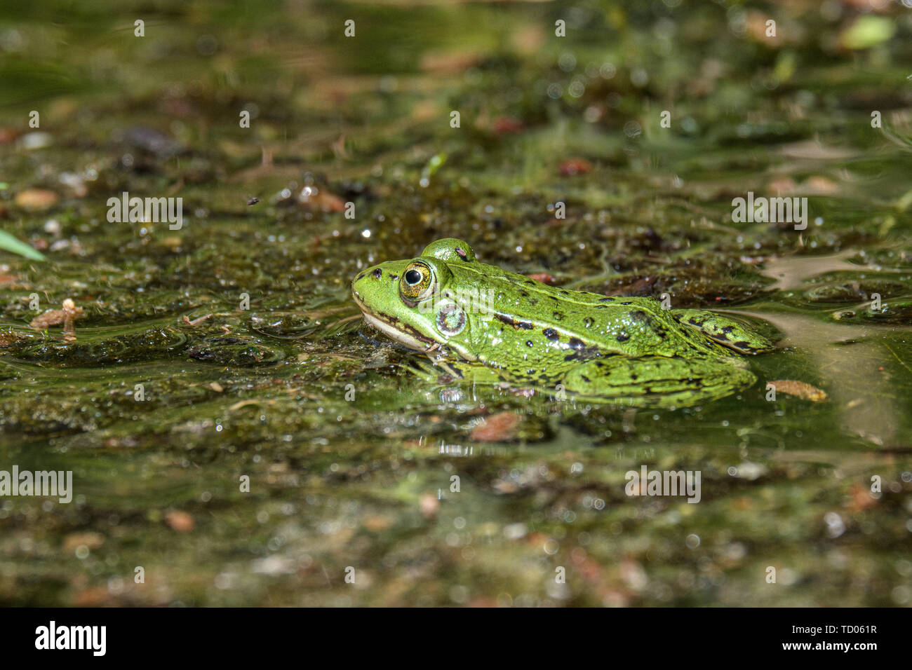 Latvian green frog resting in sun in a lake on water surface. Pelophylax kl. esculentus in summer - Stock Image