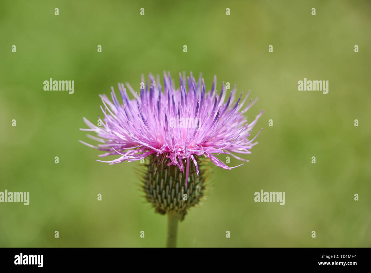 Close up macro of Isolated Beautiful Pink Texas Thistle bloom (Cirsium texanum) Stock Photo