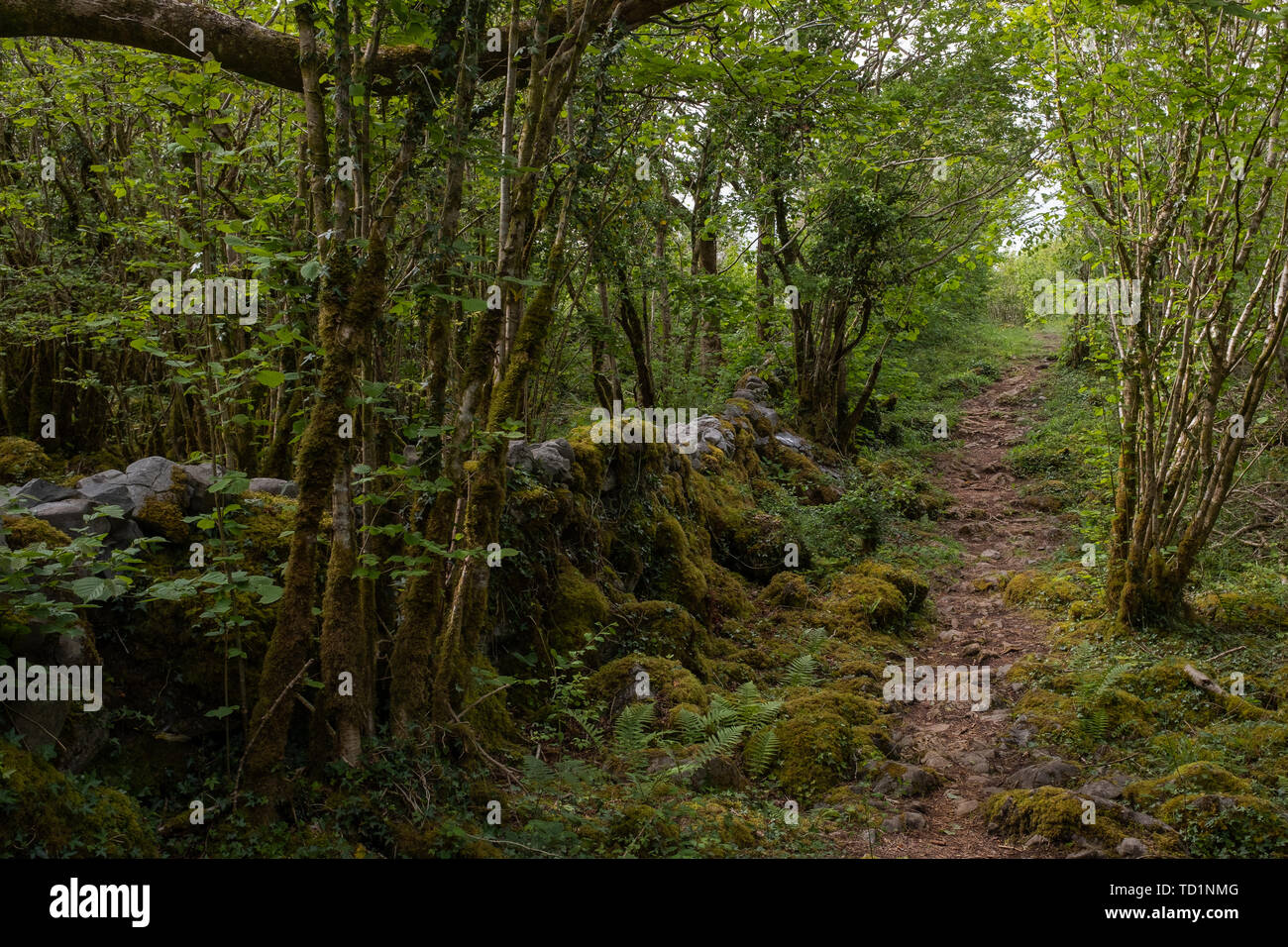 A beautiful moss covered wood walk  in The Burren National Park, County Clare, Ireland that looks like a fairies grotto, nobody in the image - Stock Image