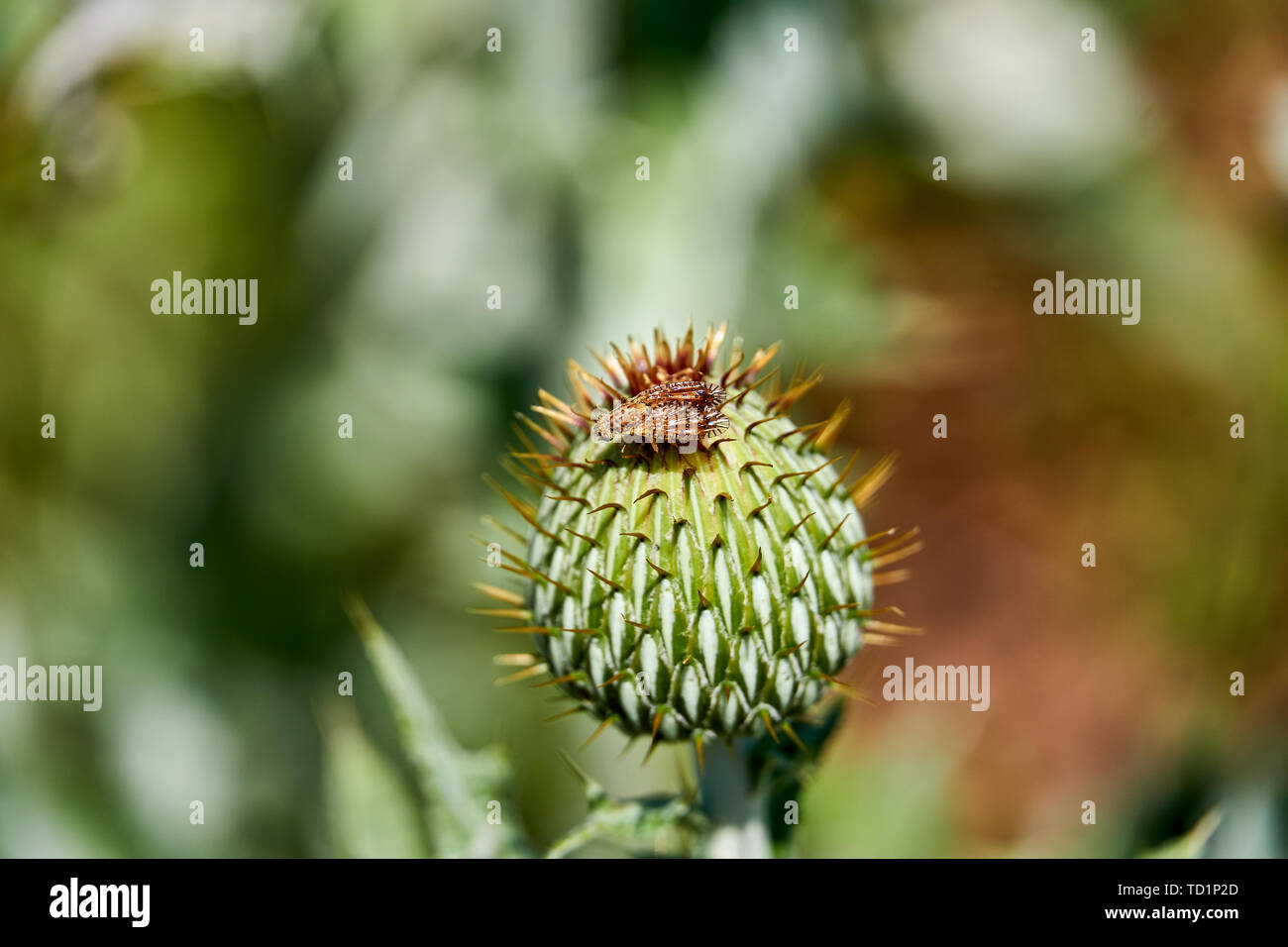 Macro of colorful Paracantha fruit fly on the Cirsium texanum bud Stock Photo
