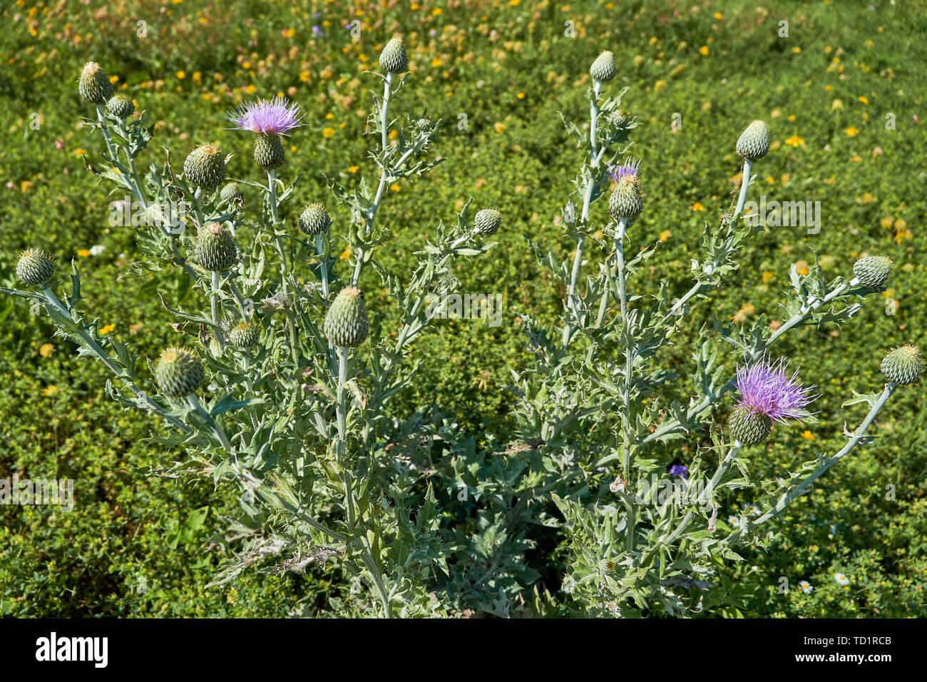 Texas Thistle Plant with blooms (Cirsium texanum) Stock Photo