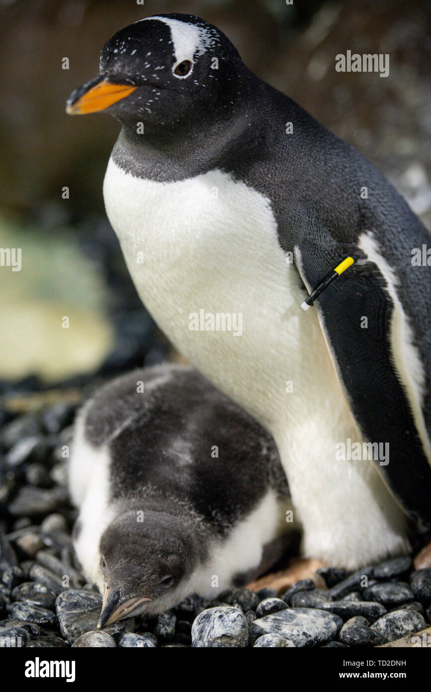 A rare baby Gentoo penguin which was born at the National Sea Life Centre in Birmingham. The chick, whose parents traveled thousands of miles by airplane to conceive as part of Sea Life's breeding programme, has been named 'Flash' after it hatched so quickly. - Stock Image