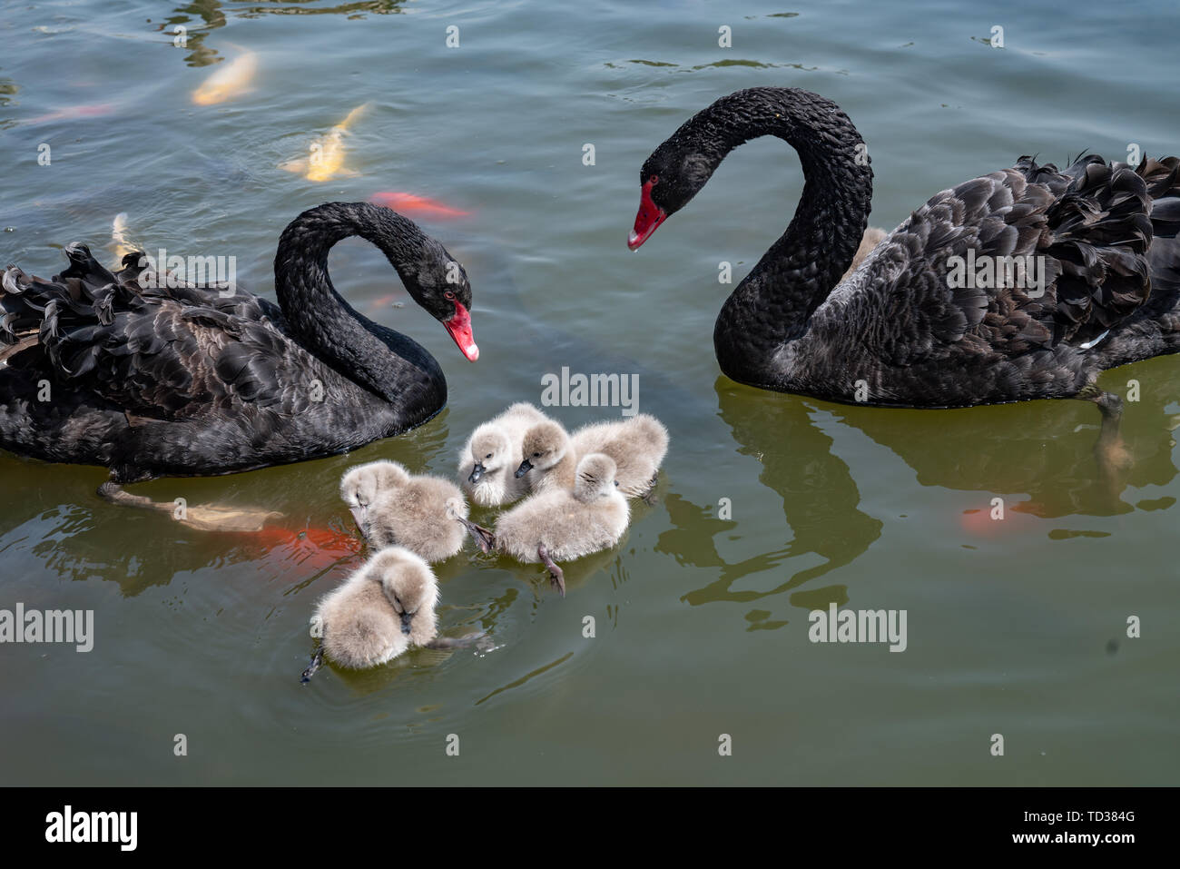 Black swan and baby swan on the lake Stock Photo