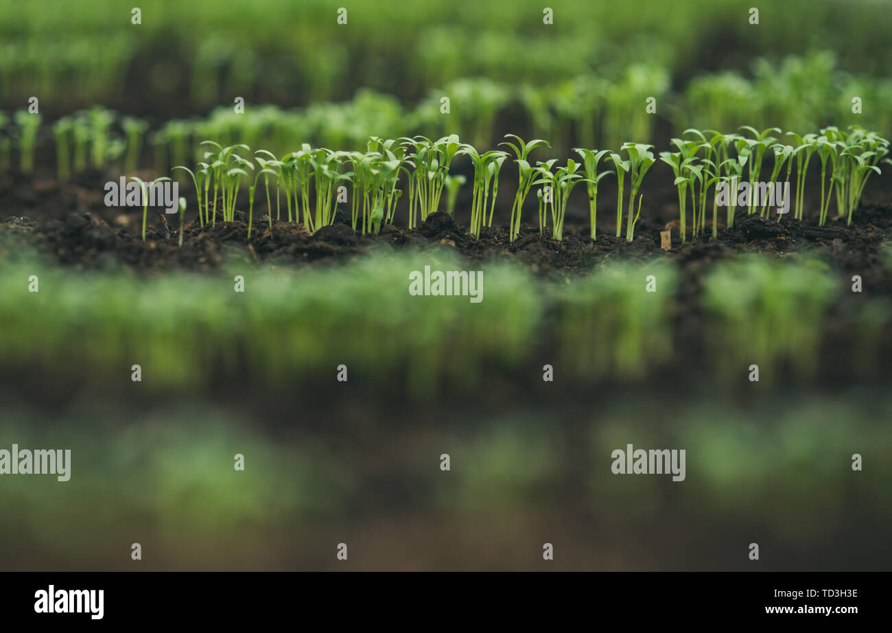 seeding in greenhouse. seeding plants greenhouse. seeding in greenhouse concept. plant seeding in greenhouse. new life. - Stock Image