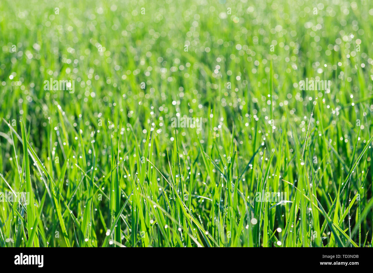 Dew grass background, low depth of field - Stock Image