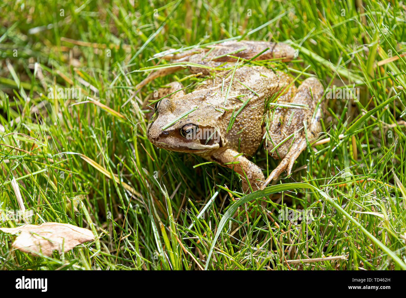 Common frog in amongst some grass on a sunny day - Stock Image