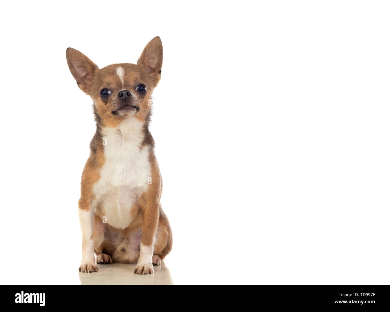 Funny brown Chihuahua with big ears isolated on a white background - Stock Image