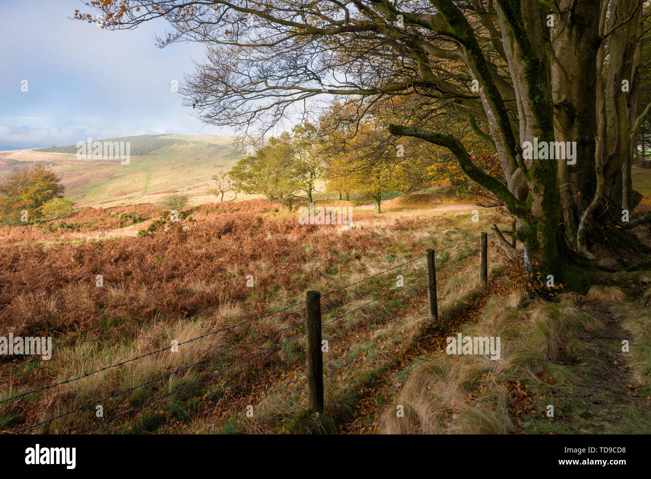Autumnal view of Great Hill viewed from Drove Road in the Quantock Hills Area of Outstanding Natural Beauty, Somerset, England. - Stock Image