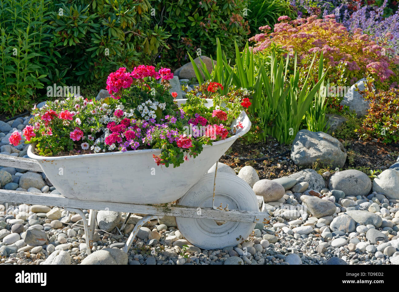 Old wheelbarrow painted white and being used as a flower planter in a rock garden - Stock Image