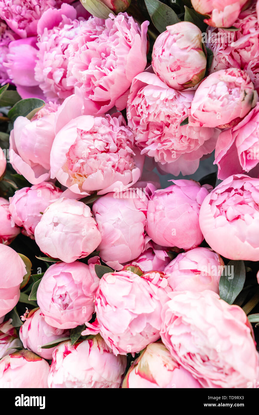 Floral Carpet Or Wallpaper Background Of Pink Peonies Morning Light In The Room Beautiful Peony Flower For Catalog Or Online Store Floral Shop And Stock Photo Alamy