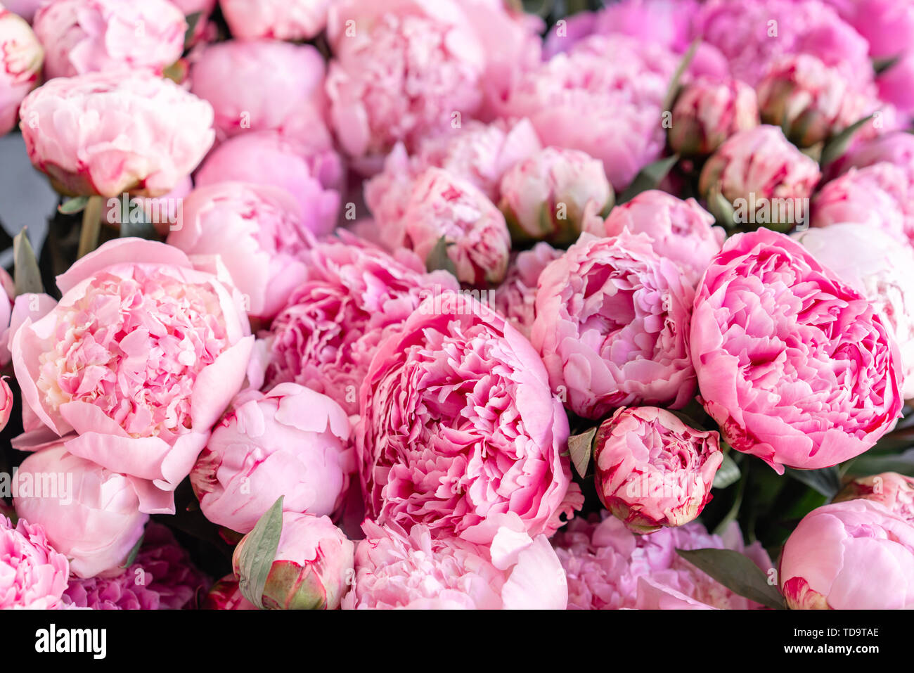 Floral Carpet Or Wallpaper Background Of Pink Peonies Morning