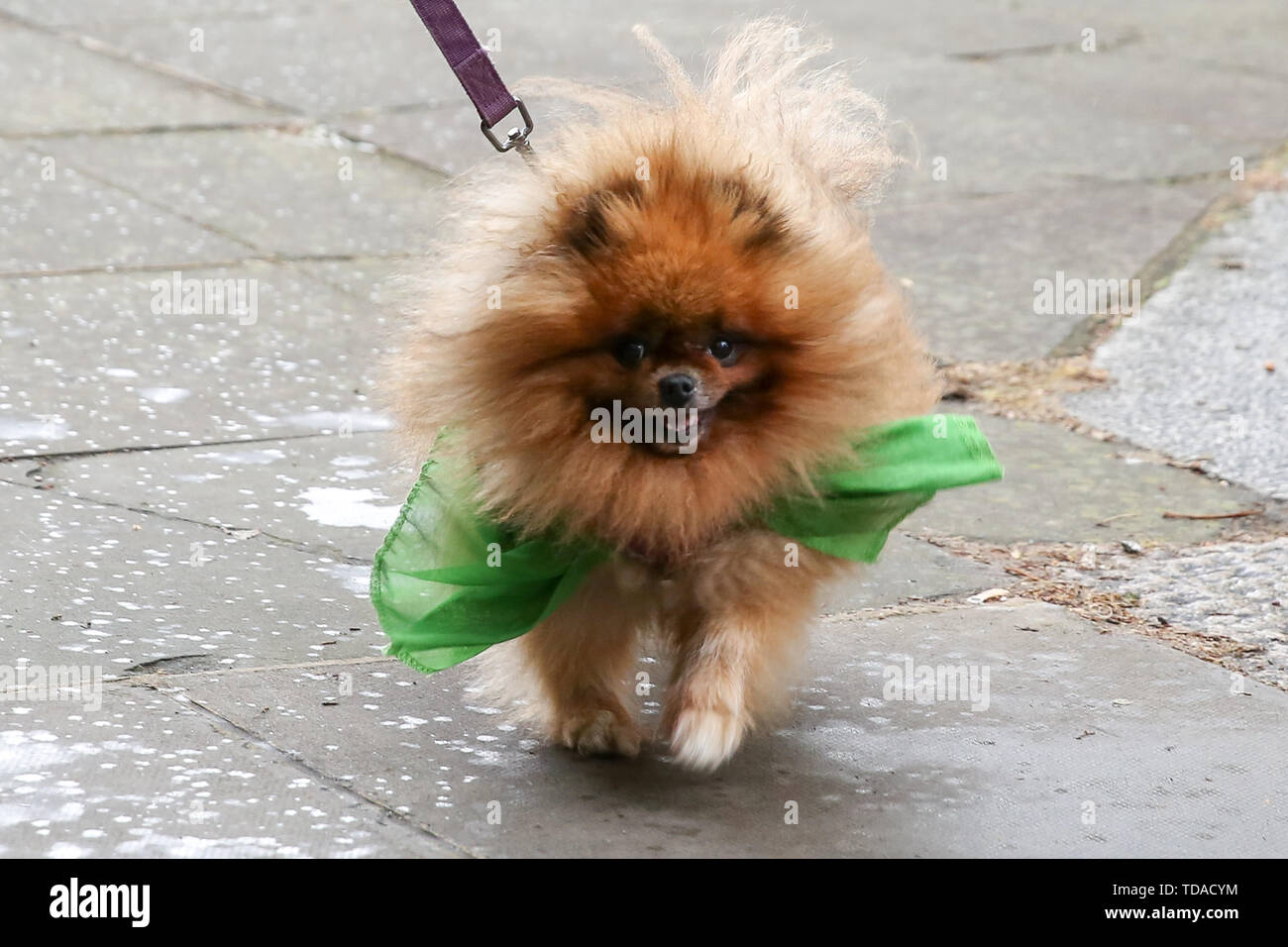 North Kensington, West London. UK 14 Jun 2019 - 'Missy' wearing a green ribbon arrives at St Helen's Church to commemorate the second anniversary of the Grenfell Tower fire service. On 14 June 2017, just before 1:00Êam a fire broke out in the kitchen of the fourth floor flat at the 24-storey residential tower block in North Kensington, West London, which took the lives of 72 people. More than 70 others were injured and 223 people escaped.  Credit: Dinendra Haria/Alamy Live News - Stock Image