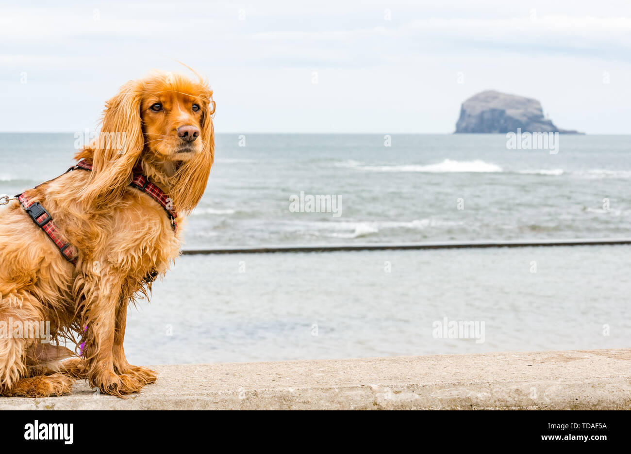 North Berwick, East Lothian, Scotland, United Kingdom, 14th June 2019. UK Weather: After East Lothian suffered heavy rain the last few days, the weather has brightened. Hamish, a spaniel enjoying the outdoors at Milsey Bay with the Bass Rock gannet colony on the horizon. Credit: Sally Anderson - Stock Image