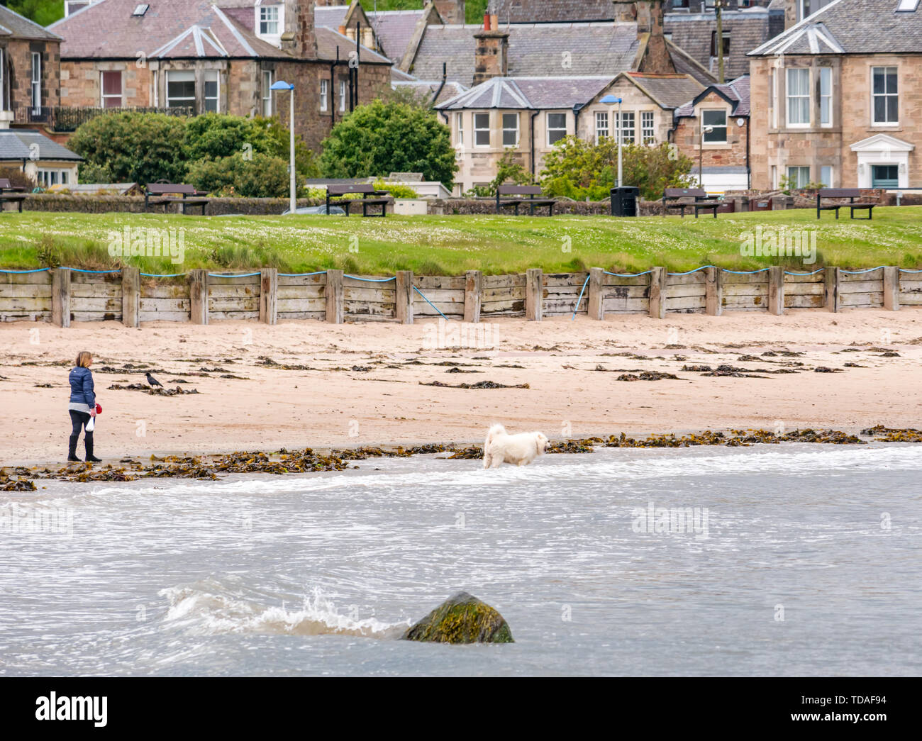 North Berwick, East Lothian, Scotland, United Kingdom, 14th June 2019. UK Weather: After East Lothian suffered heavy rain the last few days, the weather has brightened, and people enjoy the outdoor pursuits in the seaside town. A wman walks a dog on West Bay beach. Credit: Sally Anderson/Alamy Live News - Stock Image