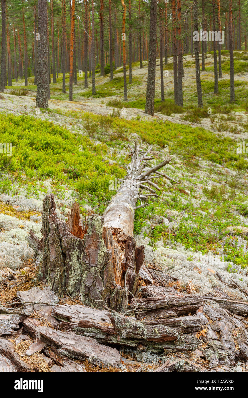 Fallen Pine tree snag in the woodland - Stock Image