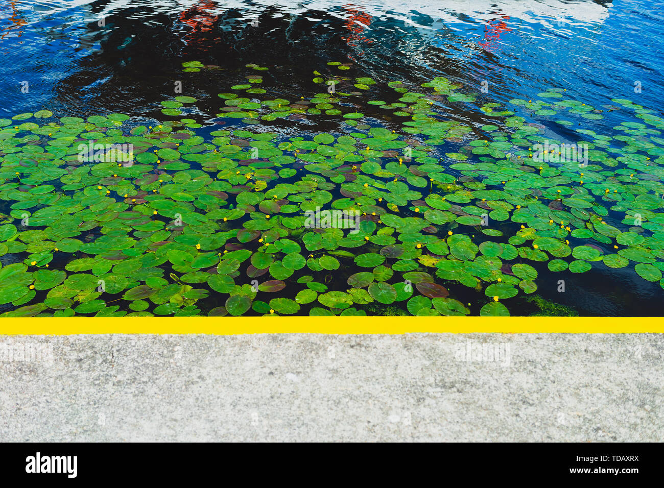 Green water lilies in the river at the pier Stock Photo