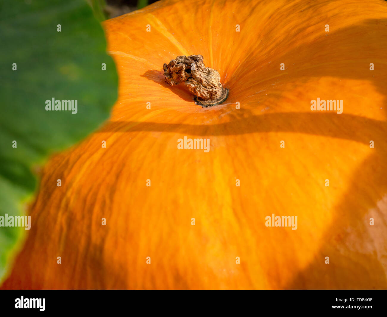 Big orange pumpkins growing in the garden. - Stock Image