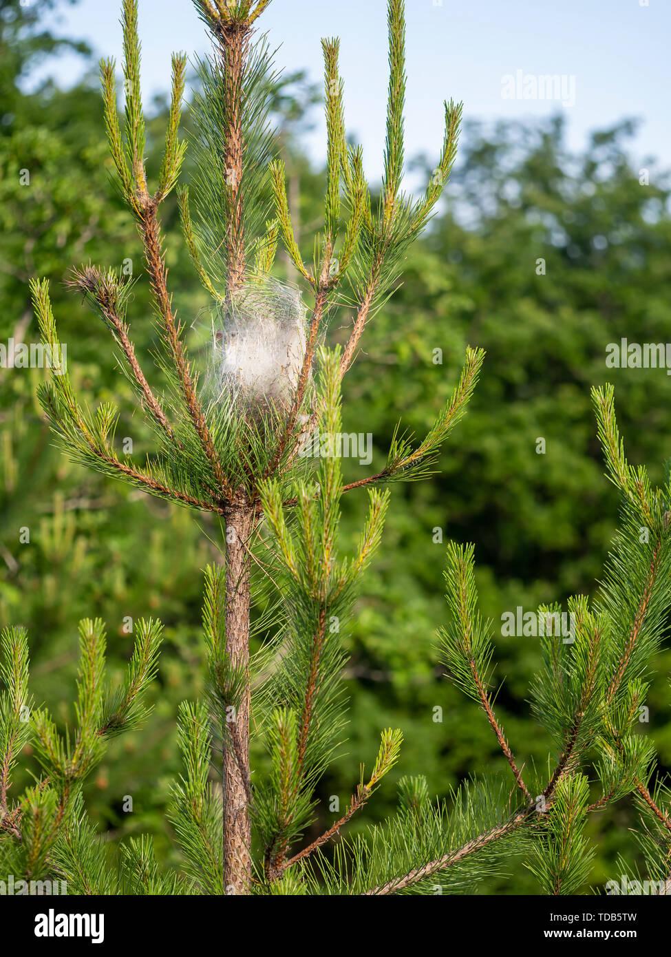 Pine processionary moth caterpillar nest. Thaumetopoea pityocampa. Destructive pest. - Stock Image
